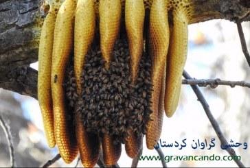 تفاوت اصلی عسل وحشی با عسل طبیعی چیست؟